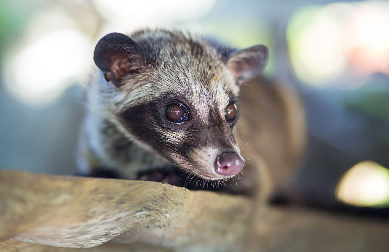 "Asian palm civet – the ""producer"" of Kopi Luwak"